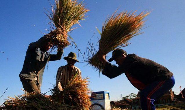 petani padi sawah