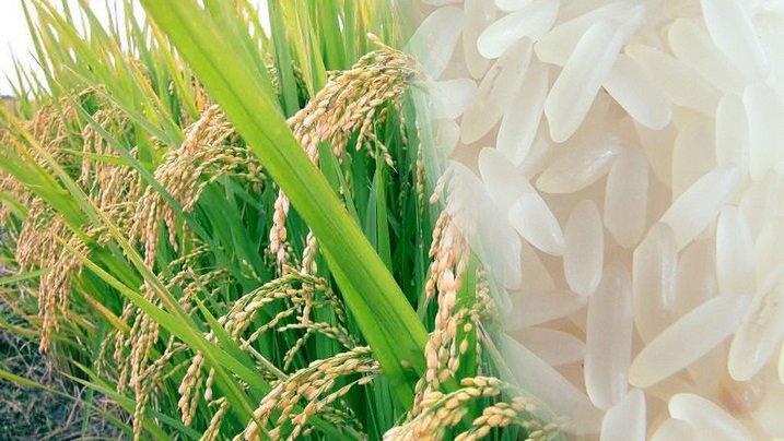 beras bulog padi