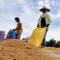 Pemerintah Resmi Naikkan HPP Gabah Petani